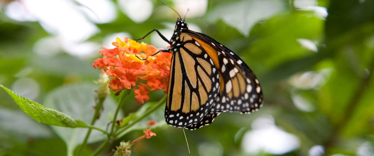 photo of an ATS radio telemetry VHF transmitter attached to a monarch butterfly for wildlife tracking.